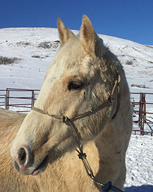 2015 Palomino Super Stakes gelding for sale